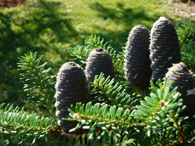 Abies koreana ©jr