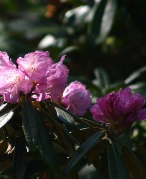 rhododendron_degronianum_ojussila.jpg